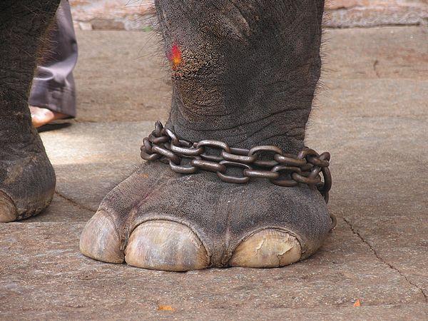 हाथी और जंजीरें
